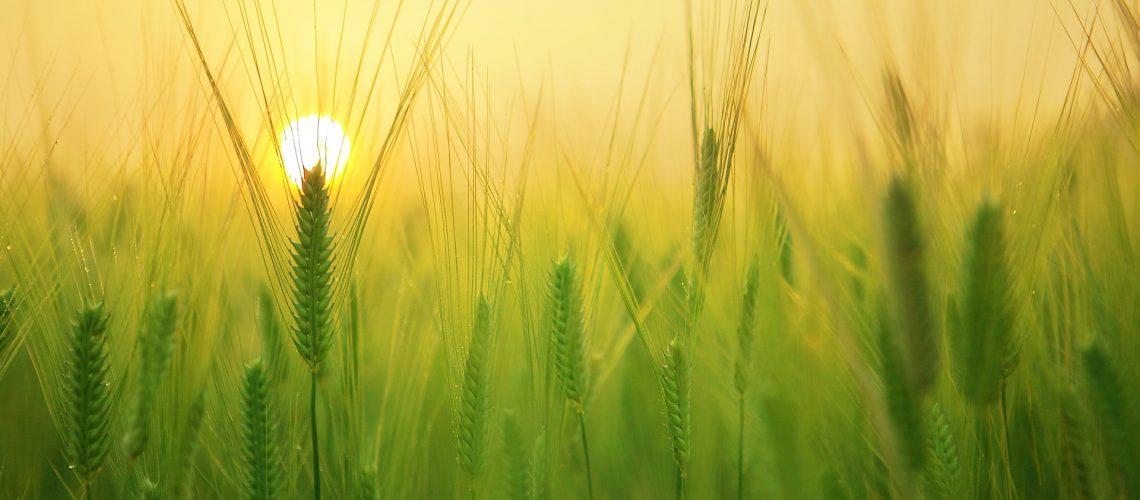 barley-field-1684052_1920